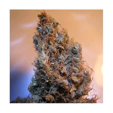 2046 de Medical Seeds semillas marihuana