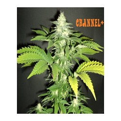 Channel + de Medical Seeds semillas marihuana