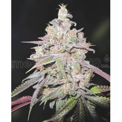 Mendocino Chanel Kush de Medical Seeds semillas marihuana