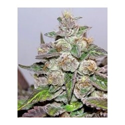 Mendocino Purple Kush de Medical Seeds semillas marihuana