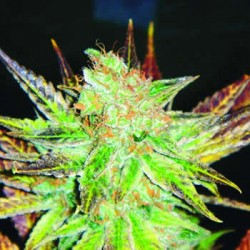 Prozack de Medical Seeds semillas marihuana