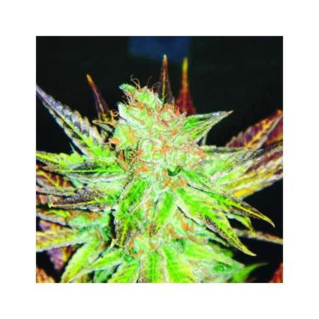 Prozack de Medical Seeds semillas marihuana