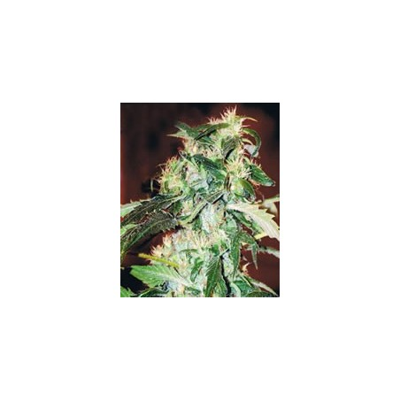 Semillas marihuana Jack 47 F1 de Sweet Seeds