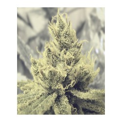 Y Griega de Medical Seeds semillas marihuana