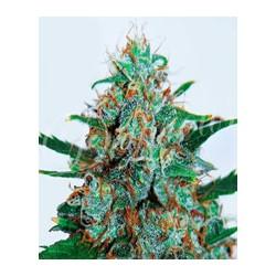 Critical Neville Haze auto de Delicious Seeds semillas marihuana
