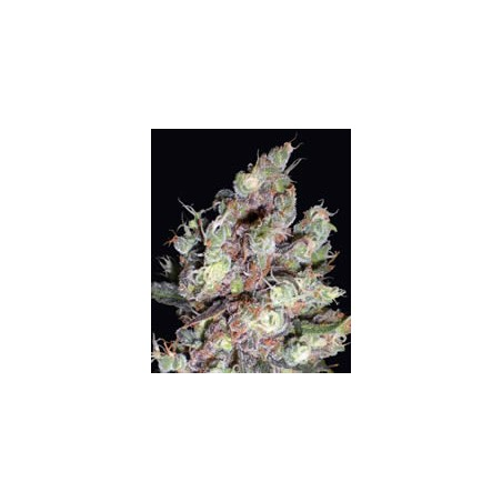 Cotton Candy de Delicious Seeds semillas marihuana