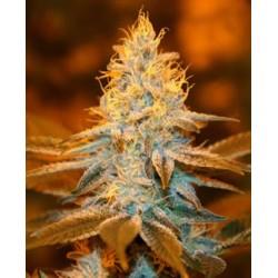 Strawberry Glue de TH Seeds semillas marihuana