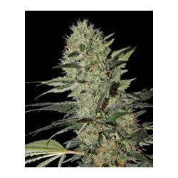 semillas marihuana Exodus Cheese auto de Green House