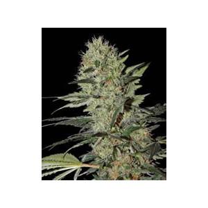 semillas marihuana Exodus Cheese auto de Green House