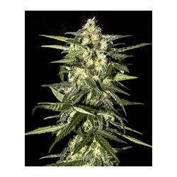 Jack Herer auto de Green House semillas marihuana