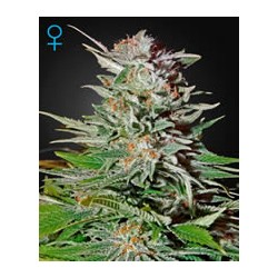 semillas marihuana Super Lemon Haze auto de Green House