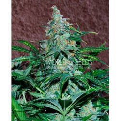 Amnesia auto de World of Seeds