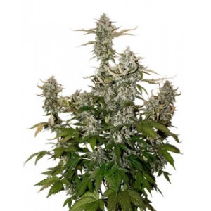 Candy Dawg auto de Seed Stockers