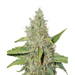 Northern Light auto de Seed Stockers