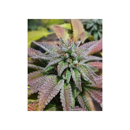 Sherbet Queen de Royal Queen semillas marihuana