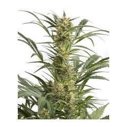 Amnesia XXl auto de Dinafem semillas marihuana