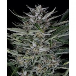 Gorilla auto de Dinafem semillas marihuana