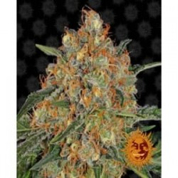 Orange Sherbet de Barney´s Farm semillas marihuana