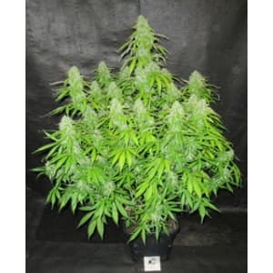 Blackberry Gum de Seed Stockers semillas marihuana