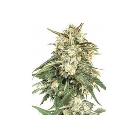 BCN Critical XXL auto de Seed Stockers semillas marihuana
