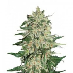 Big Bud de Seed Stockers semillas marihuana