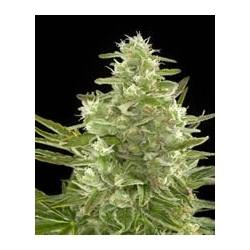 Critical + de Dinafem semillas marihuana