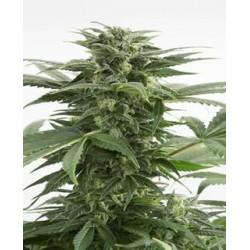 Haze XXL auto de Dinafem semillas marihuana