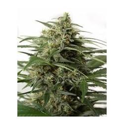 Moby Dick XXL auto de Dinafem semillas marihuana