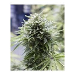 OG Kush auto de Dinafem semillas marihuana