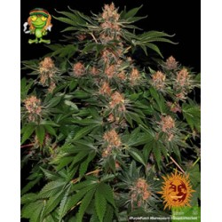 Purple Punch de Barney´s Farm