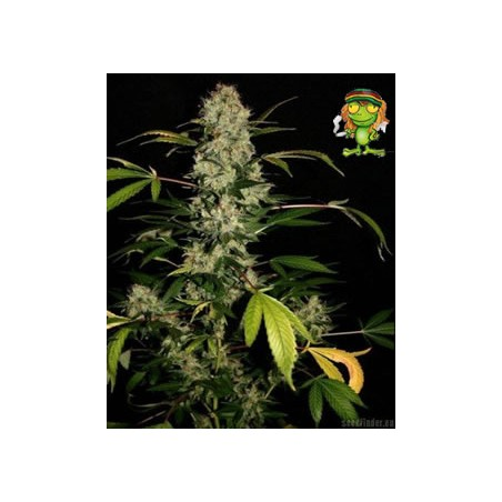 Semillas marihuana Jack Herer de Green House