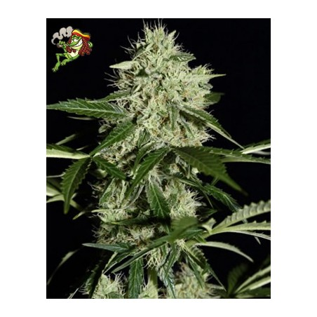 semillas marihuana Northern Lights auto de Green House