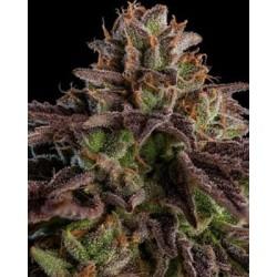 semillas marihuana Kmintz de Ripper Seeds