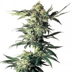 Northern Lights auto Sensi Seeds semillas marihuana