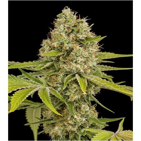 Semillas marihuana OG Kush de Dinafem