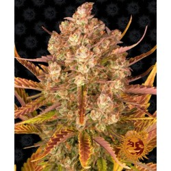 Dos Si Dos auto semillas marihuana Barney´s Farm